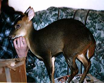 Matilda the Muntjac